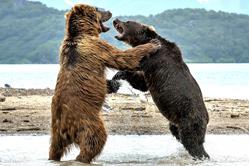 """俄罗斯两头熊上演精彩""""拳击赛"""""""