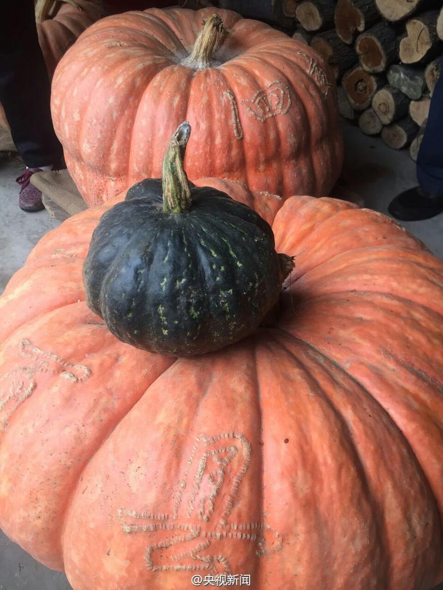 山西农民种出巨型南瓜 重达119斤直径2米多