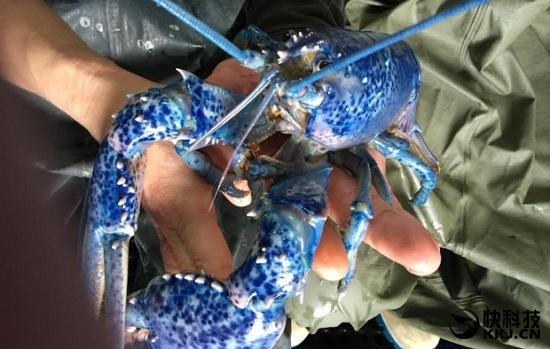 餐馆意外发现罕见龙虾:3000万中才找到一只