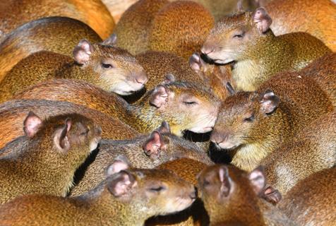 里约公园大老鼠水豚成群觅食