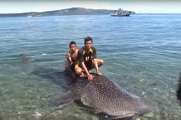 俄游客从印尼渔夫手中购得小鲸鲨将其放生
