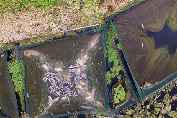 四川眉山水白菜高温下疯长 十万斤鱼缺氧死亡