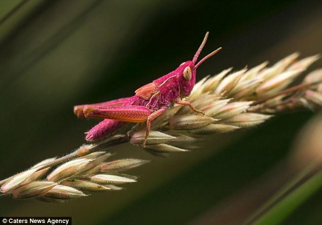 从蓝色龙虾到粉色蚱蜢 带你见识色彩奇异的动物