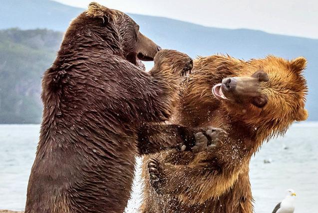 环球图片一周精选 两熊为争食大打出手似打拳击