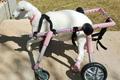 残疾动物的假肢生活