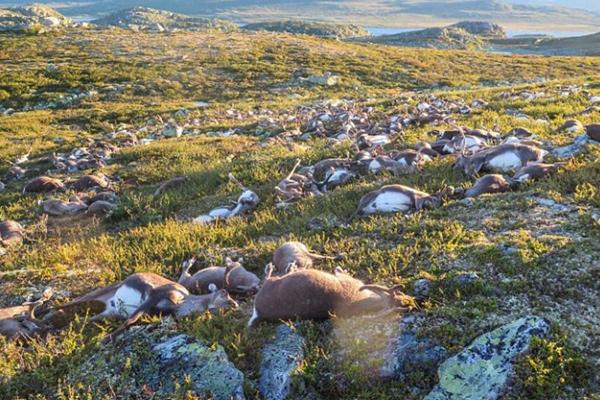 挪威约323只驯鹿和70头小牛遭雷劈死