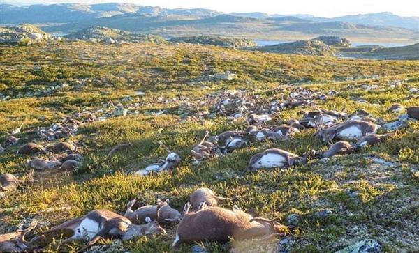 天空响起一声雷:323只鹿集体被劈而死