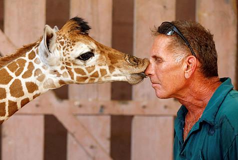 """以色列饲养员为长颈鹿喂奶获""""香吻"""""""