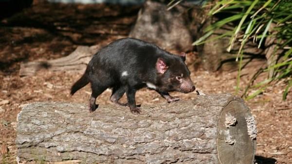 """袋獾演化出""""抗癌能力"""" 或助加深对癌症的理解"""