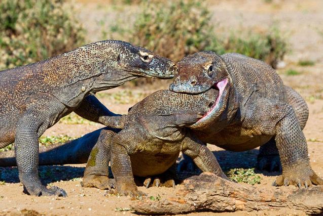 环球图片一周精选 科莫多龙钻同伴喉咙里抢食