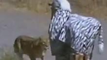 作死!两男子假扮斑马惨遭狮子围攻
