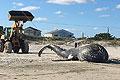 美东海岸海滩现20吨重座头鲸尸体 死因不明