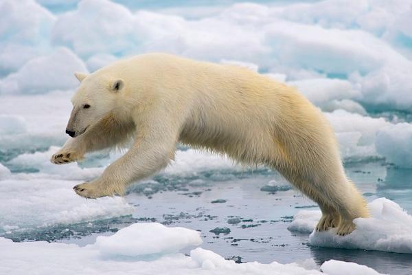 北极熊栖息地全面衰退