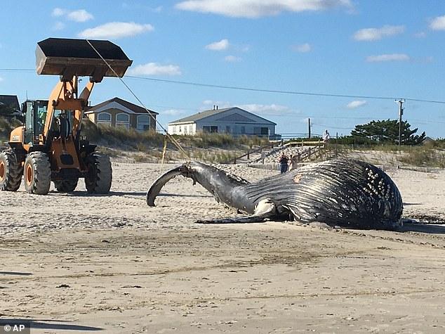 美新泽西海岸惊现庞大座头鲸尸体 体型消瘦