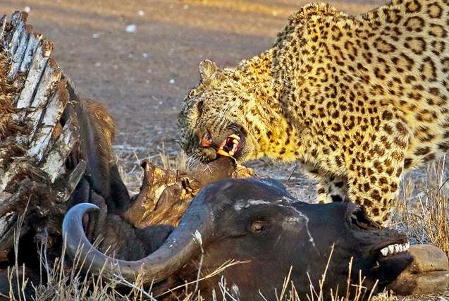 饥不择食!南非猎豹啃食水牛残骸