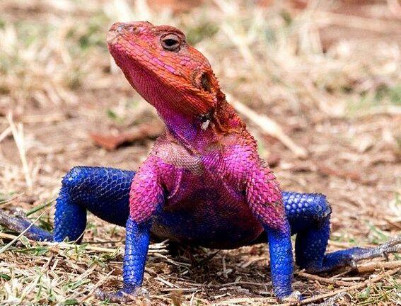 东非蜥蜴红蓝色皮肤