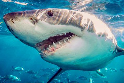 大白鲨张开血盆大口 锋利锯齿令人胆颤