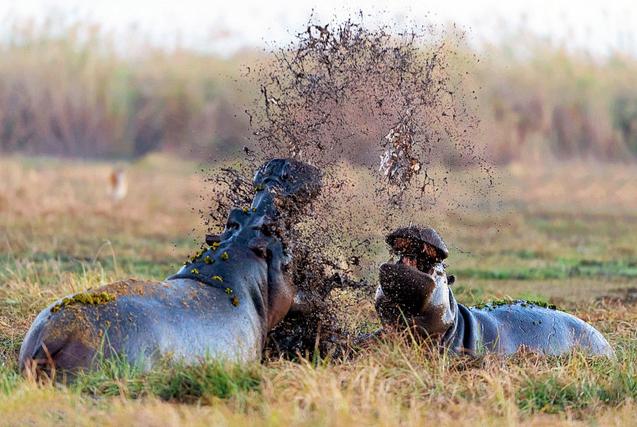 非洲河马泥池大战 泥浆飞溅异常激烈