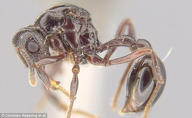 神奇!青蛙体内发现新种蚂蚁