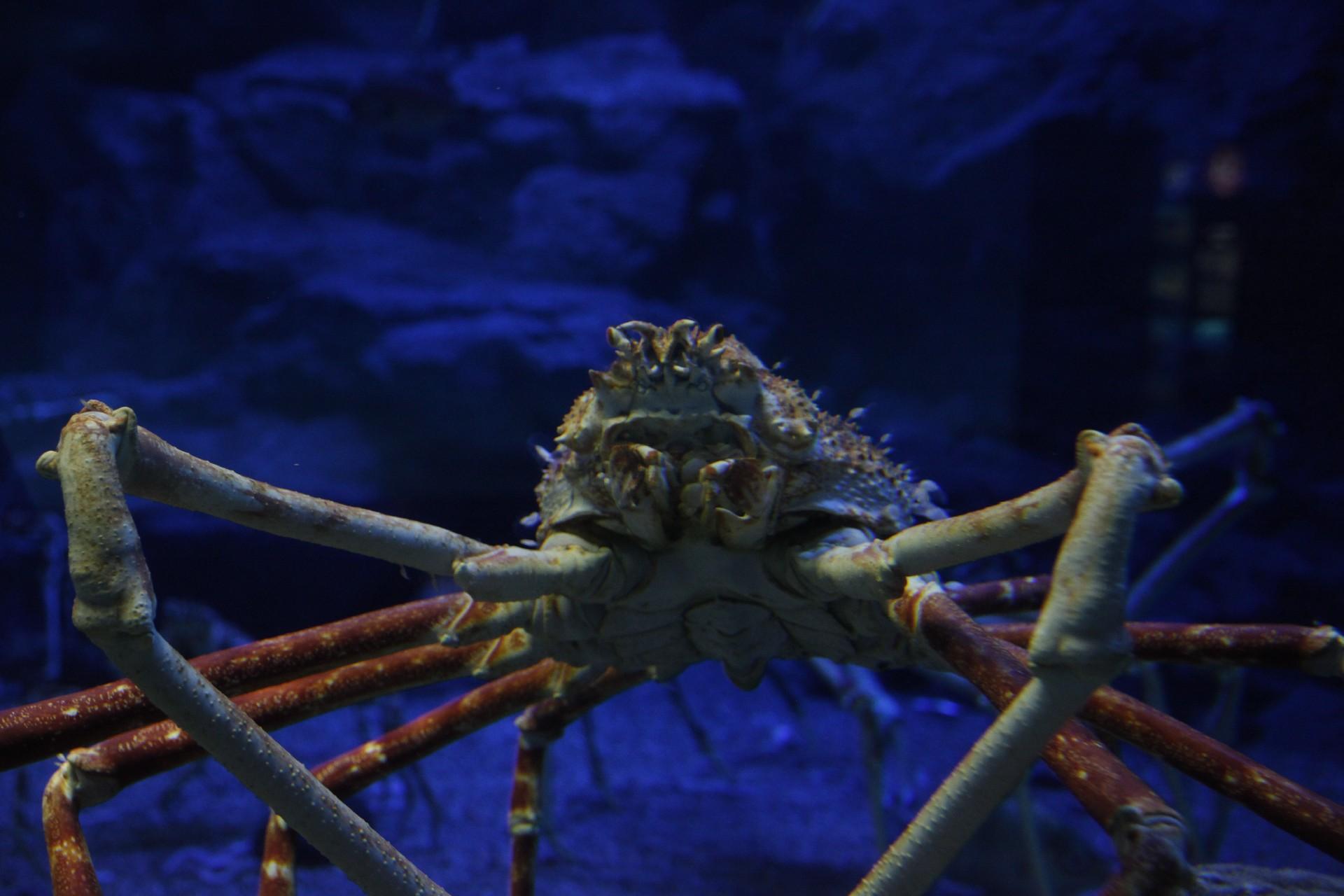 """小山带你看:来自深海的""""异形""""螃蟹"""