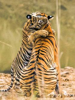 孟加拉虎宝宝紧抱妈妈脖子十分暖心