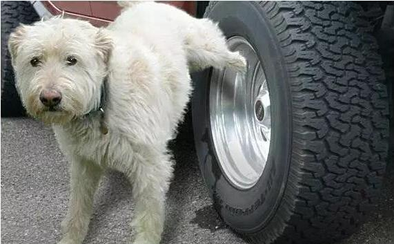 为什么狗喜欢尿轮胎 遇这四种物品立刻逃走