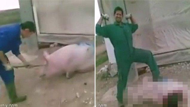 震惊!西班牙农夫虐杀母猪后竟免于入狱