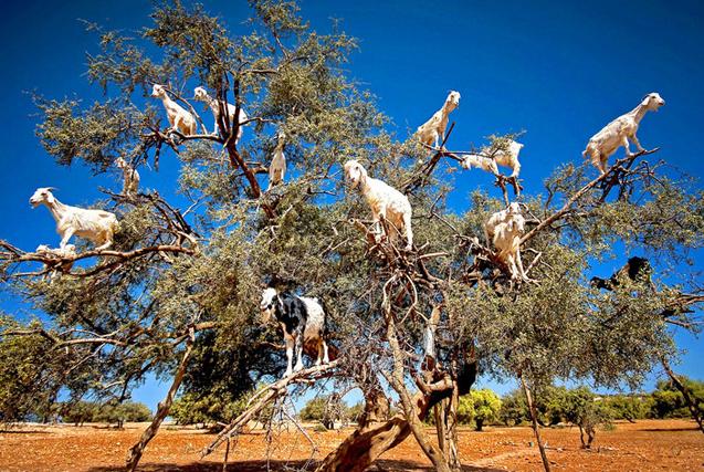 """摩洛哥惊现结""""山羊果子""""树 满树挂羊"""