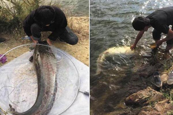 男子钓上60斤大鲶鱼 不忍吃放生了