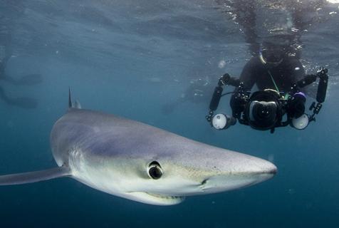 数只大青鲨现身英康沃尔海岸捕食