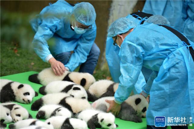 """成都23只大熊猫幼仔集体上演""""熊猫瘫"""""""