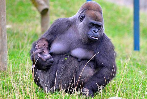 英稀有猩猩降生 或促进同种繁殖