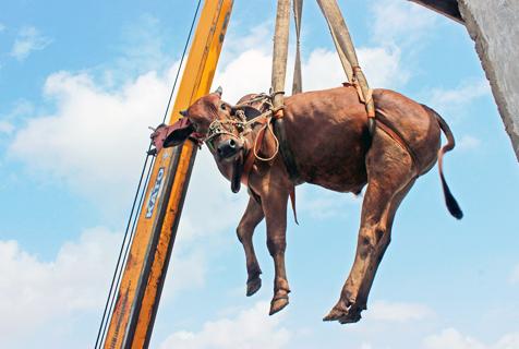 巴基斯坦奇葩男屋顶养牛需起重机空降