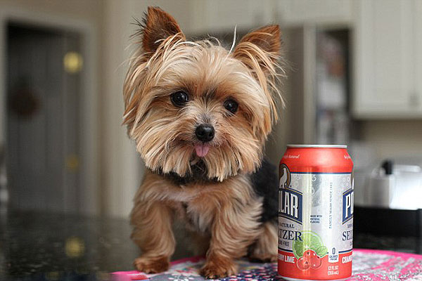萌!美迷你约克犬成世界最小工作犬治愈不少病人