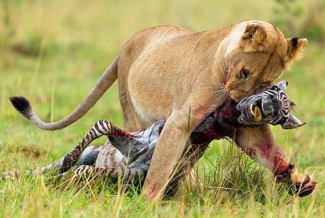 非洲饥饿母狮拖咬战利品斑马穿越原野