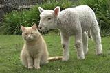 新西兰猫咪混迹羊群成领导