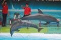 印尼马戏团海豚多为非法捕捉 生存艰难多早死