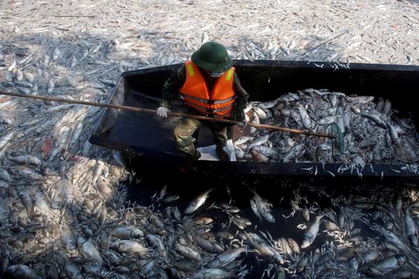 越南西湖污染严重 湖面飘满死鱼工人乘船打捞