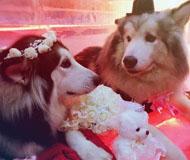 不做单身狗!雪橇犬雪场内办婚礼