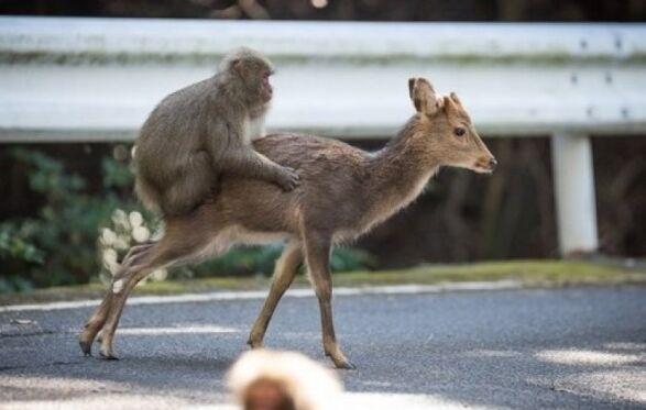 """日本猕猴骑鹿四处走 """"称霸""""神秘屋久岛"""