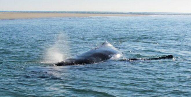 澳大利亚座头鲸不慎搁浅 幼鲸奋力助母亲游回大海