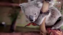 萌化了!实拍悉尼动物园考拉与蝴蝶亲吻嬉戏