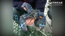 男子出海捕鱼 竟捉到一只罕见的奇异龙虾