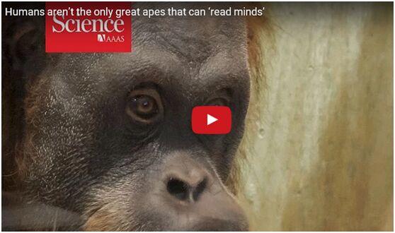 日研究发现 类人猿能推测他人想法行动