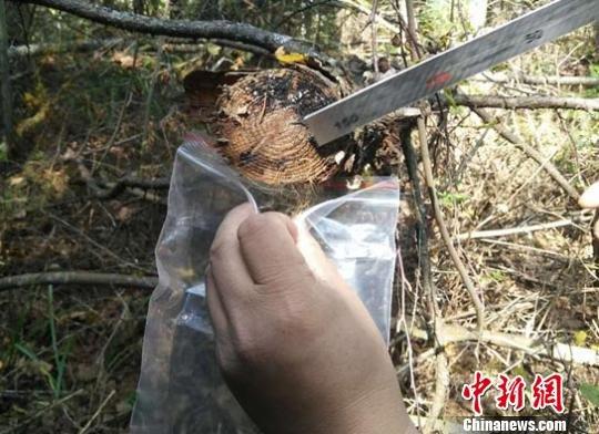 吉林延边一周内2次发现东北虎足迹和毛发
