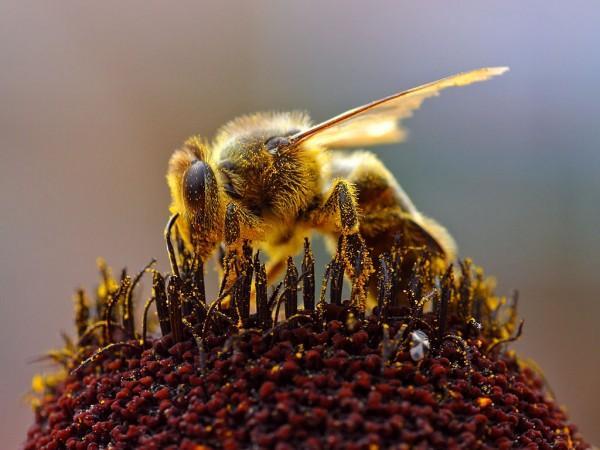 """""""无聊""""的科学家:蜜蜂会感知快乐吗?"""