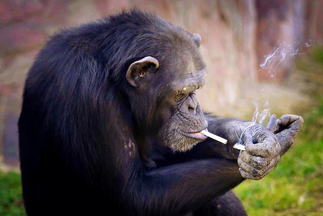 朝鲜猩猩每天一包烟 老烟枪动作娴熟