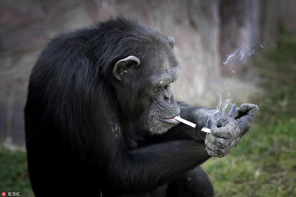 朝鲜动物园猩猩抽烟 动作熟练每日1包