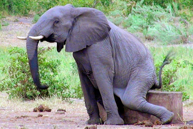 憨厚老实的大象秒变搞怪高手 笑翻众人