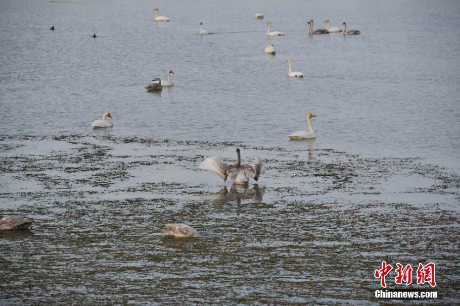 甘肃戈壁野天鹅成群 翩翩起舞
